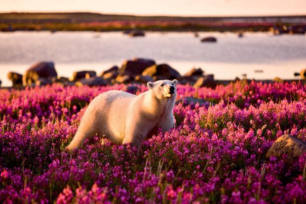 Внезапно: белый медведь