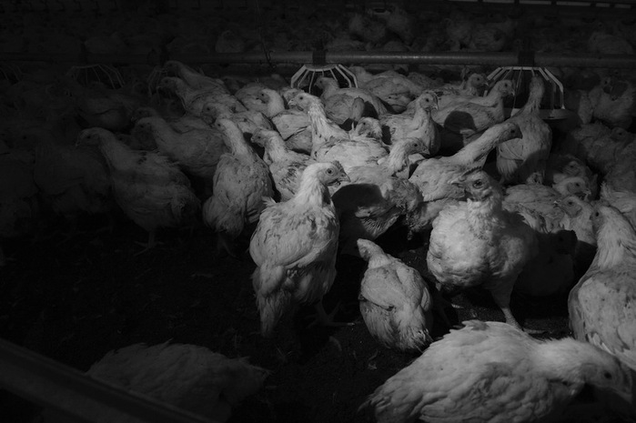Каюк птицефабрике